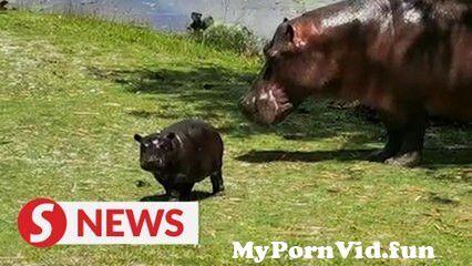 View Full Screen: birth of hippopotamus calf brings joy to rangers at wetlands park.jpg