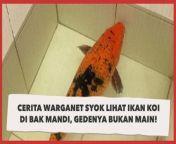 Viral Cerita Warganet Syok Lihat Ikan Koi di Bak Mandi, Gedenya Bukan Main!<br/><br/><br/>Seorang warganet membagikan ceritanya melihat ikan koi dipelihara di dalam bak mandi. Selengkapnya dalam video ini.<br/><br/>Link terkait: <br/>https://www.suara.com/news/2021/09/23/093809/viral-cerita-warganet-syok-lihat-ikan-koi-di-bak-mandi-gedenya-bukan-main<br/><br/>#IkanKoi #Mandi<br/><br/>Pengisi Suara/Video Editor: Septi/Eko Hendra<br/>===================================<br/>Homepage: https://www.suara.com<br/>Facebook Fan Page: https://www.facebook.com/suaradotcom<br/>Instagram:https://www.instagram.com/suaradotcom/<br/>Twitter:https://twitter.com/suaradotcomsuaradotcom<br/><br/>